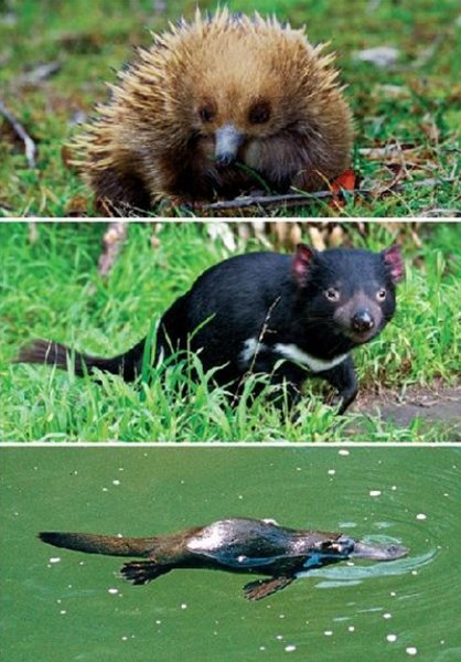 Tasmanian Animals